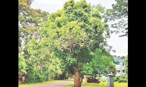 rare-tree-at-kgp